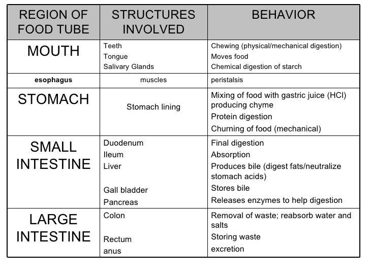 Digestive Flow Diagram Food Auto Electrical Wiring Diagram