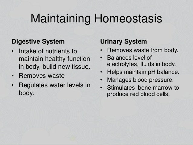 how does the digestive system maintain homeostasis