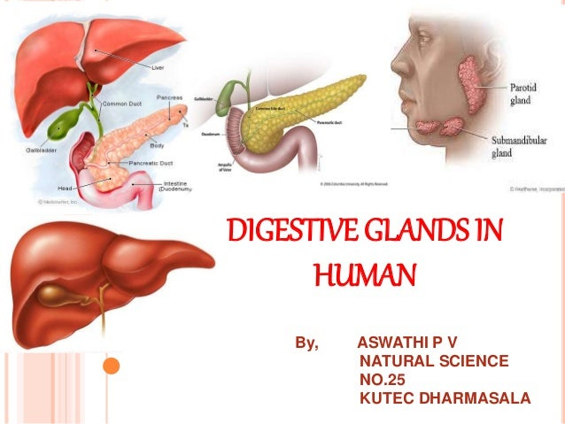 Digestive glands in human