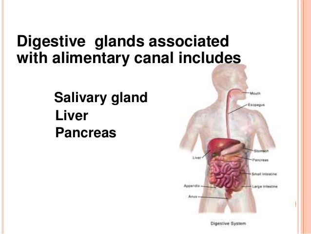 Digestive glands in human