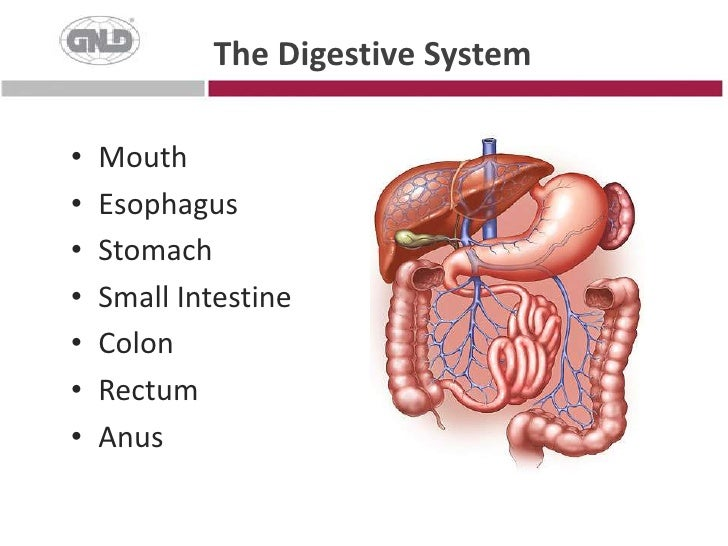 The Digestive System<br />Mouth<br />Esophagus<br />Stomach<br />Small Intestine<br />Colon<br />Rectum<br />Anus<br />