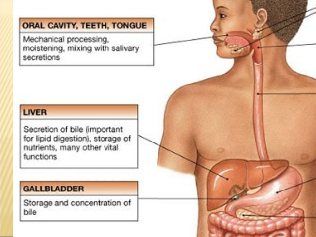 Grade 8 digestive system digestive glandsdigestive glands 5 ccuart Gallery