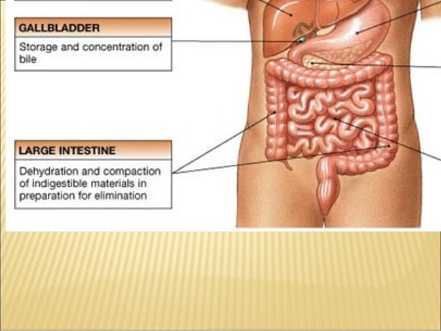 Grade 8 digestive system ccuart Image collections