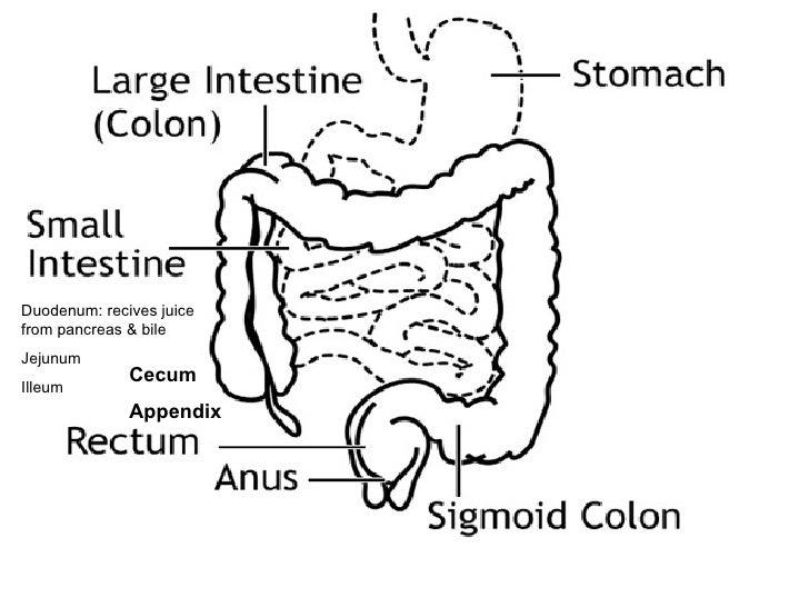 Digestive system 6 ccuart Choice Image