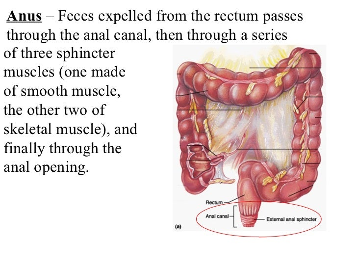 Smooth Muscle Digestive Diagram Residential Electrical Symbols