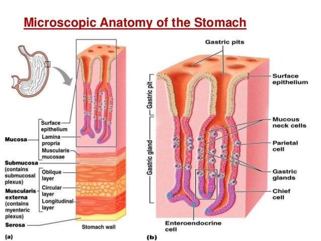 Digestive system cells