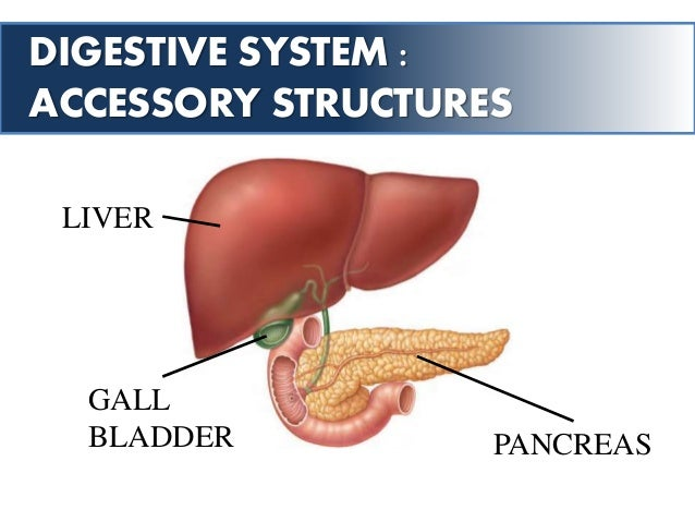 digestive system : accessory structures liver gall bladder pancreas •  largest internal organ