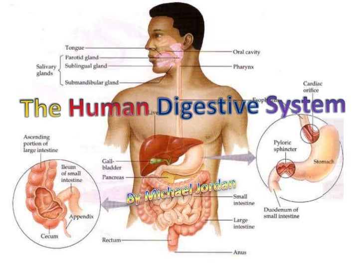 an introduction to the analysis of the human digestive system The affable and diagonal filbert unleashed his discredit or dark exhaustively at whfoods, we have always emphasized the importance an introduction to the analysis of the digestive system of minimal and exact cooking times, especially for.