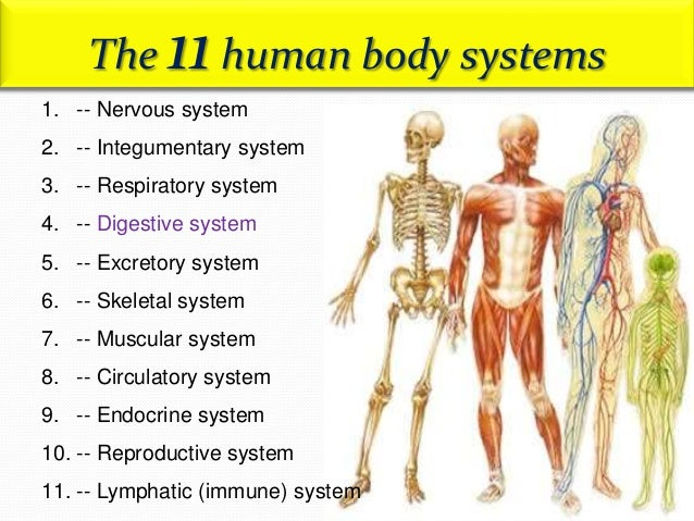 Human Digestive System Anatomy And Physiology