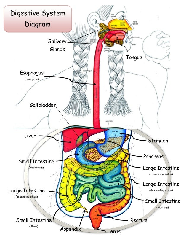 Eating Digestive System Diagram Wiring Library