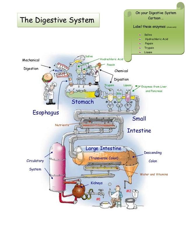 Pancreas Gallbladder Diagram Pancreas Digestive System ...