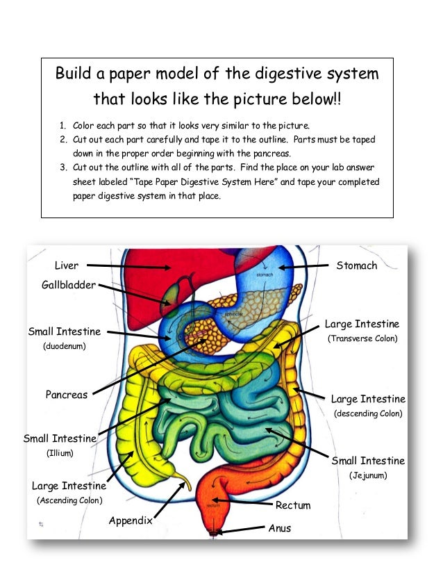 stomach gallbladder esophagus 30 build a paper model of the digestive system