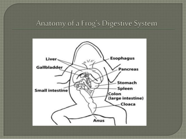 Digestive system of a frog ccuart Images