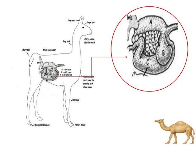 digestive system of camel