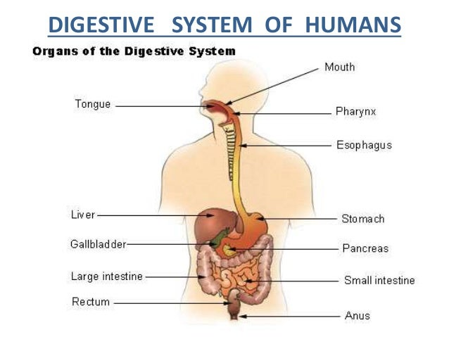 digestive system of humen