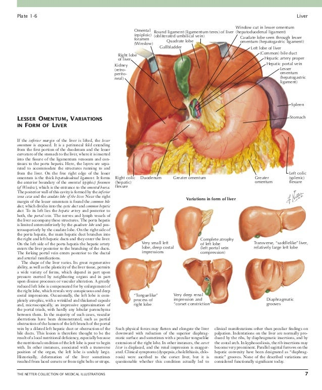 Liver: PART III 8 THE NETTER COLLECTION OF MEDICAL ILLUSTRATIONS Cellular Elements of Liver Hepatocytes are the cells tha...
