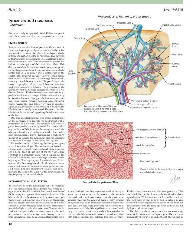 Liver THE NETTER COLLECTION OF MEDICAL ILLUSTRATIONS 11 Plate 1-10 INTRAHEPATIC VASCULAR SYSTEM Branch of portal vein Bi...