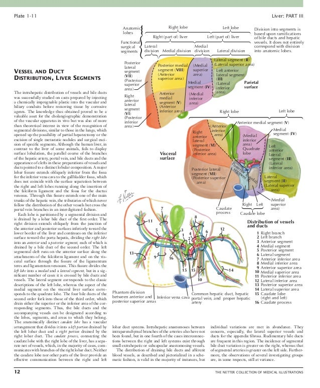 Liver THE NETTER COLLECTION OF MEDICAL ILLUSTRATIONS 13 Arterial Blood Supply of Liver, Biliary System, and Pancreas As i...