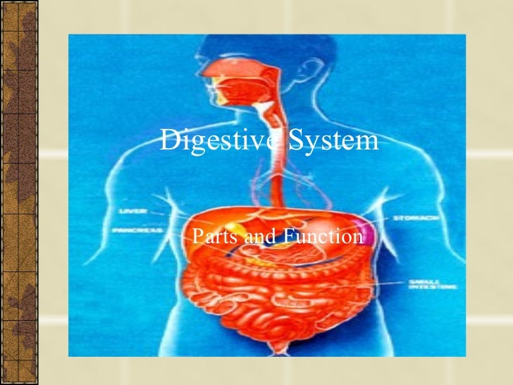Digestive System Parts and Function