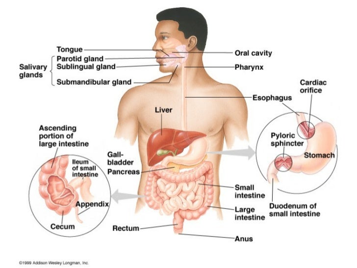 Human body diagram digestive system powerpoint electrical work digestive system ppt rh slideshare net digestive system blank diagram detailed digestive system diagram ccuart Image collections