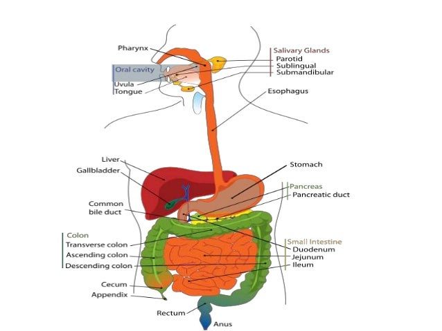 Digestive system• Organs of digestive system: Mouth, tongue,  oesaphageo-pharynx, oesaphagus, stomach,  duodenum, Jejunum,...