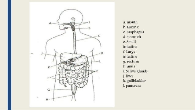 Digestive system k 12 lesson digestive system 2 a ccuart Image collections