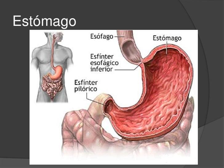 Abdomen, músculos , peritoneo, esófago y estómago