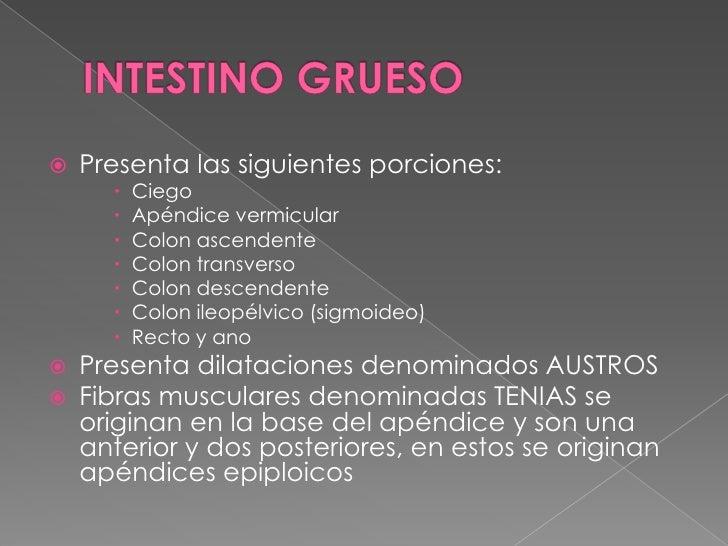 INTESTINO GRUESO<br />Presenta las siguientes porciones:<br />Ciego<br />Apéndice vermicular <br />Colon ascendente<br />C...
