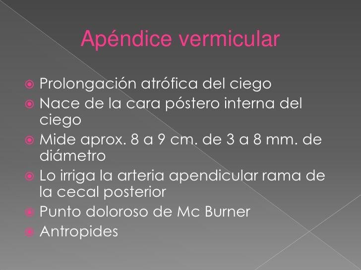 Apéndice vermicular <br />Prolongación atrófica del ciego<br />Nace de la cara póstero interna del ciego <br />Mide aprox....