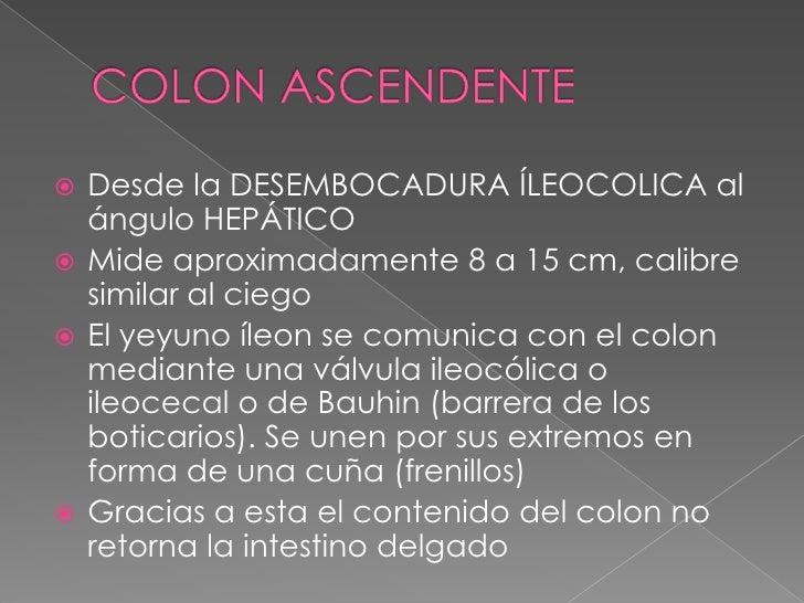 COLON ASCENDENTE<br />Desde la DESEMBOCADURA ÍLEOCOLICA al ángulo HEPÁTICO<br />Mide aproximadamente 8 a 15 cm, calibre si...