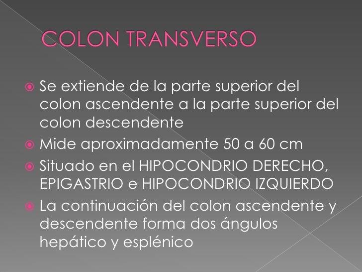 COLON TRANSVERSO<br />Se extiende de la parte superior del colon ascendente a la parte superior del colon descendente <br ...