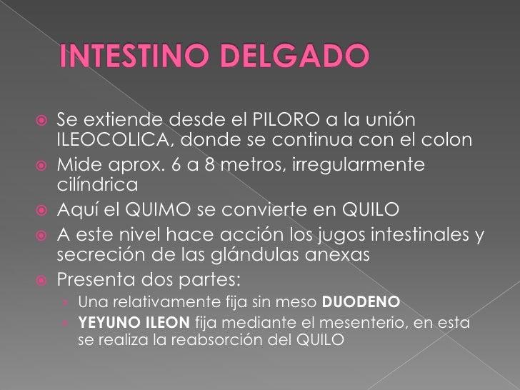 INTESTINO DELGADO<br />Se extiende desde el PILORO a la unión ILEOCOLICA, donde se continua con el colon<br />Mide aprox. ...