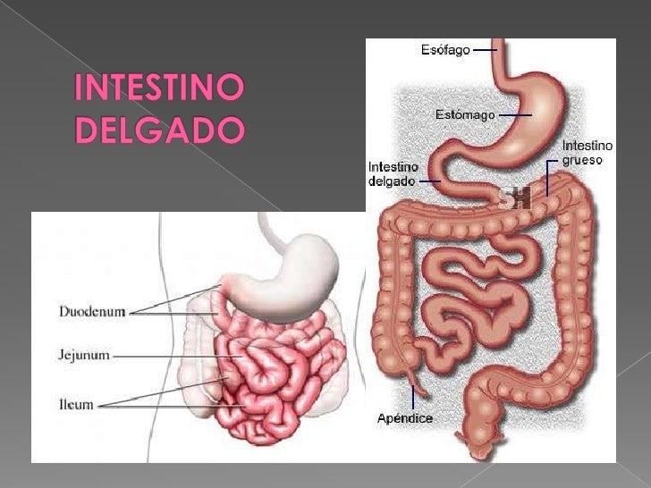 INTESTINO DELGADO - INTESTINO GRUESO