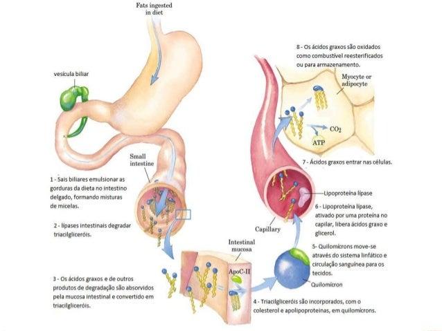 ABSORÇÃO  Lipases intestinais hidrolisam os triacilgliceróis.  Os ácidos graxos são absorvidos pela mucosa intestinal e ...