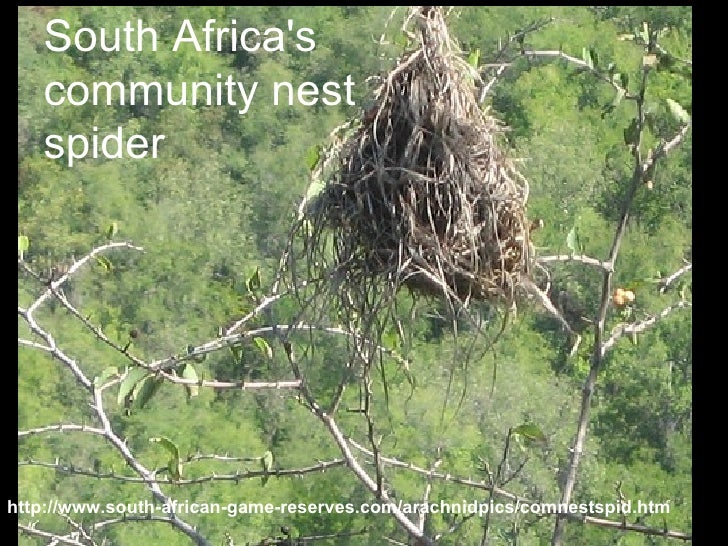 South Africa's community nest spider http://www.south-african-game-reserves.com/arachnidpics/comnestspid.htm