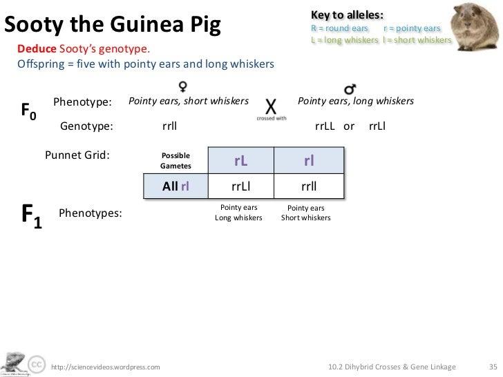 Answer Key guinea pig Dihybrid Cross