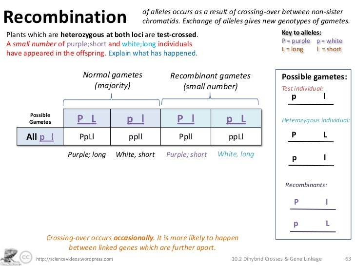 Dihybrid Crosses, Gene Linkage and Recombination