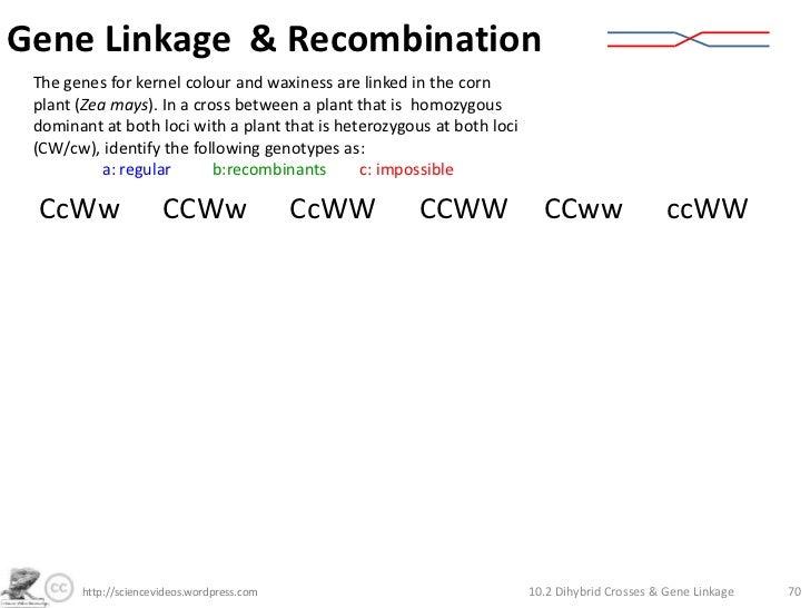 Dihybrid Crosses Gene Linkage and Recombination – Genetic Crosses Worksheet