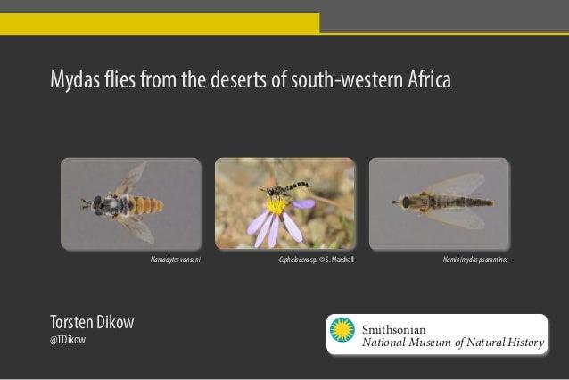 Mydas flies from the deserts of south-western Africa Namadytesvansoni NamibimydaspsamminosCephalocera sp. © S. Marshall To...