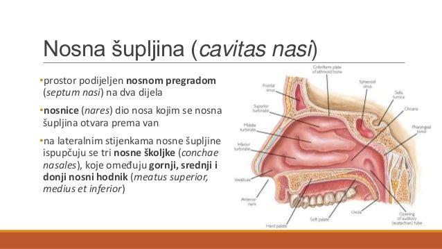 Dišni sustav Slide 3