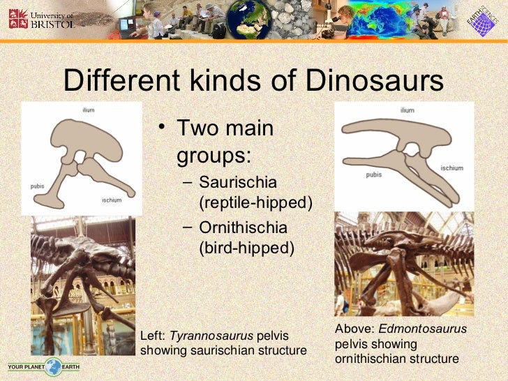 Different kinds of Dinosaurs       • Two main         groups:            – Saurischia              (reptile-hipped)       ...
