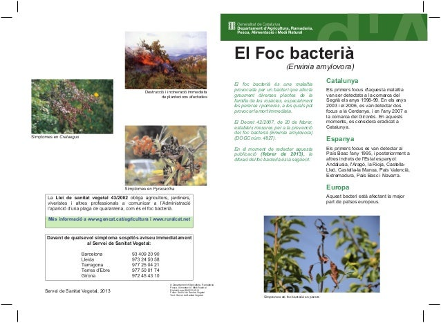 El foc bacterià és una malaltia provocada per un bacteri que afecta greument diverses plantes de la família de les rosàcie...
