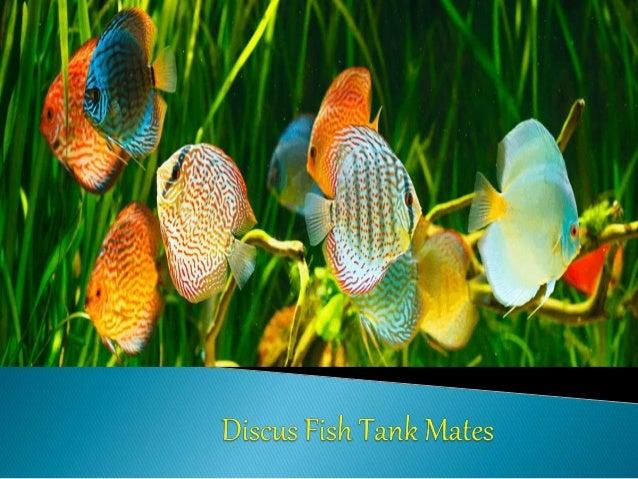 Discus Fish Ebook
