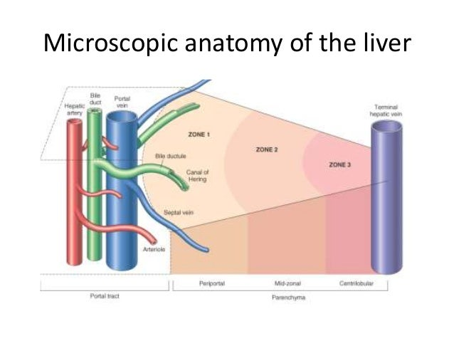 The pathogenesis of liver cirrhosis and fibrosis