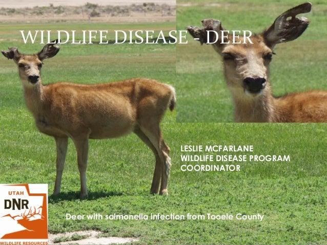 WILDLIFE DISEASE - DEER LESLIE MCFARLANE WILDLIFE DISEASE PROGRAM COORDINATOR Deer with salmonella infection from Tooele C...