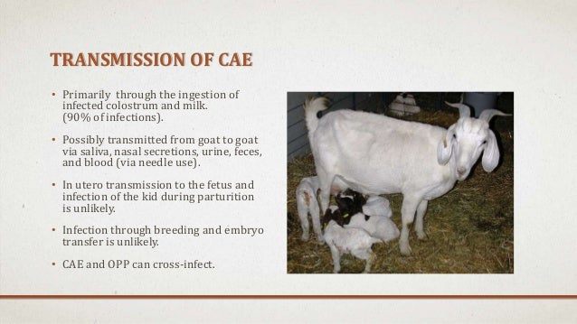goat cae Maedi-visna & caprine arthritis and encephalitis  and caprine arthritis encephalitis virus (caev), mainly found  while genotypes d and e are divergent goat.