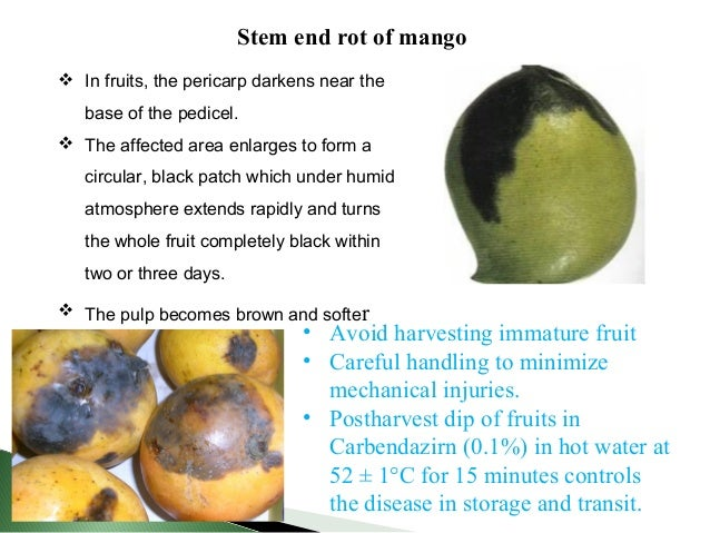 Mango Fruit Diseases Images