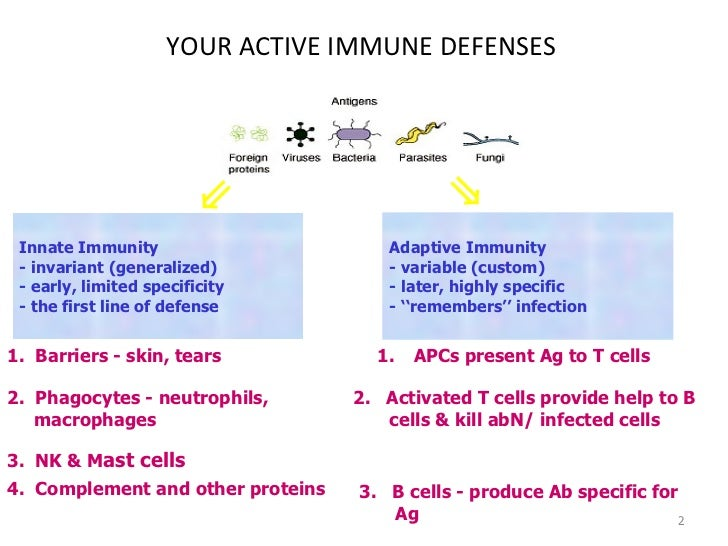 YOUR ACTIVE IMMUNE DEFENSES Innate Immunity - invariant (generalized) - early, limited specificity - the first line of def...