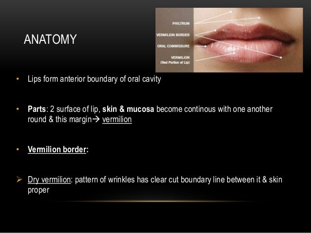 PPT - ORAL ANATOMY PowerPoint Presentation - ID:2381675 |External Lip Anatomy