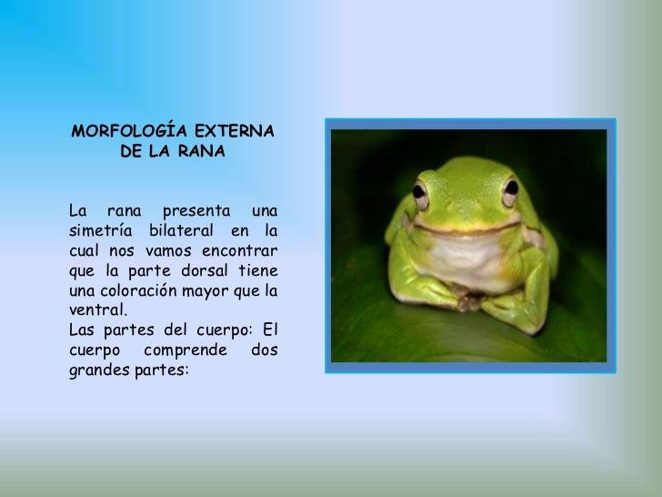 Disección de la rana